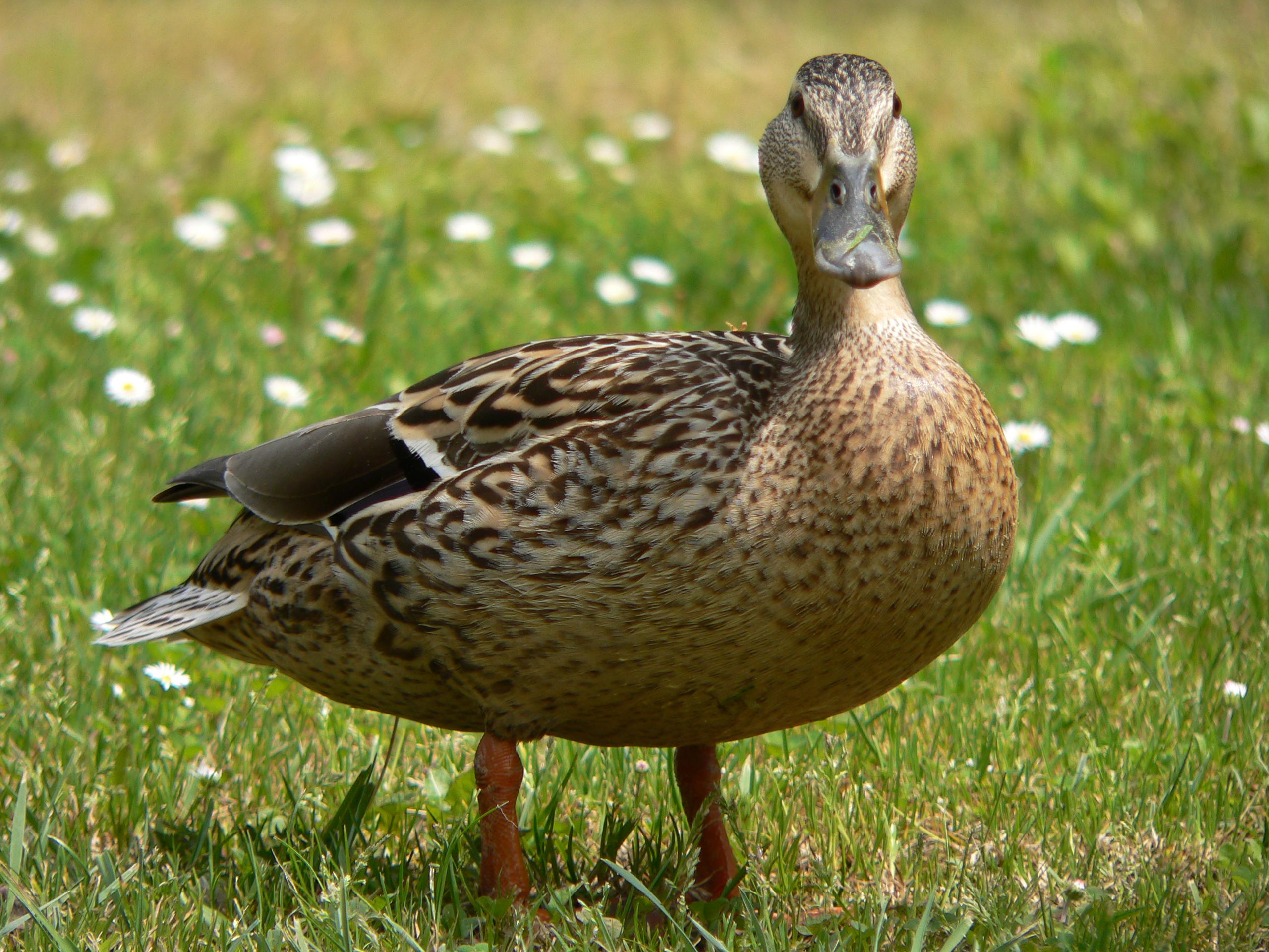 duck-jaroslav-novak.jpt_