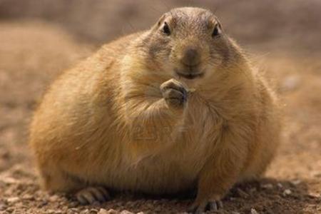 chubby-prairie-dog-eating
