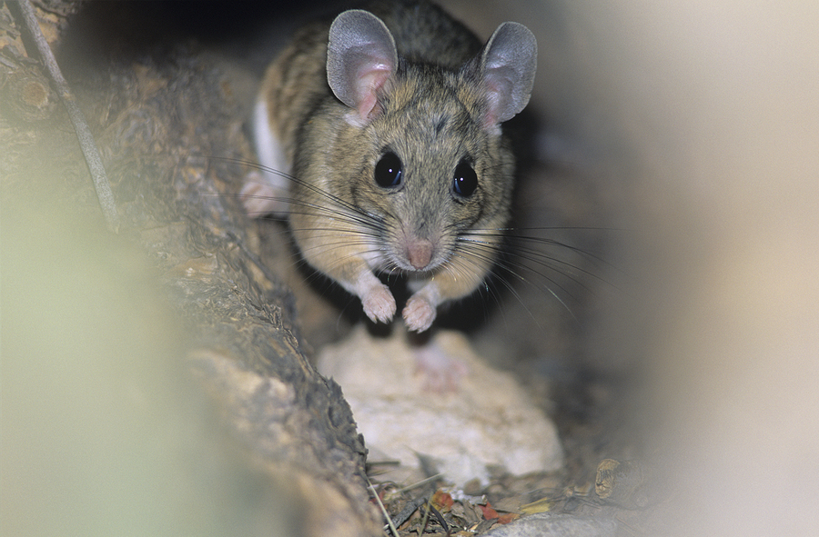 bigstock-Mouse-in-woodland-49177259