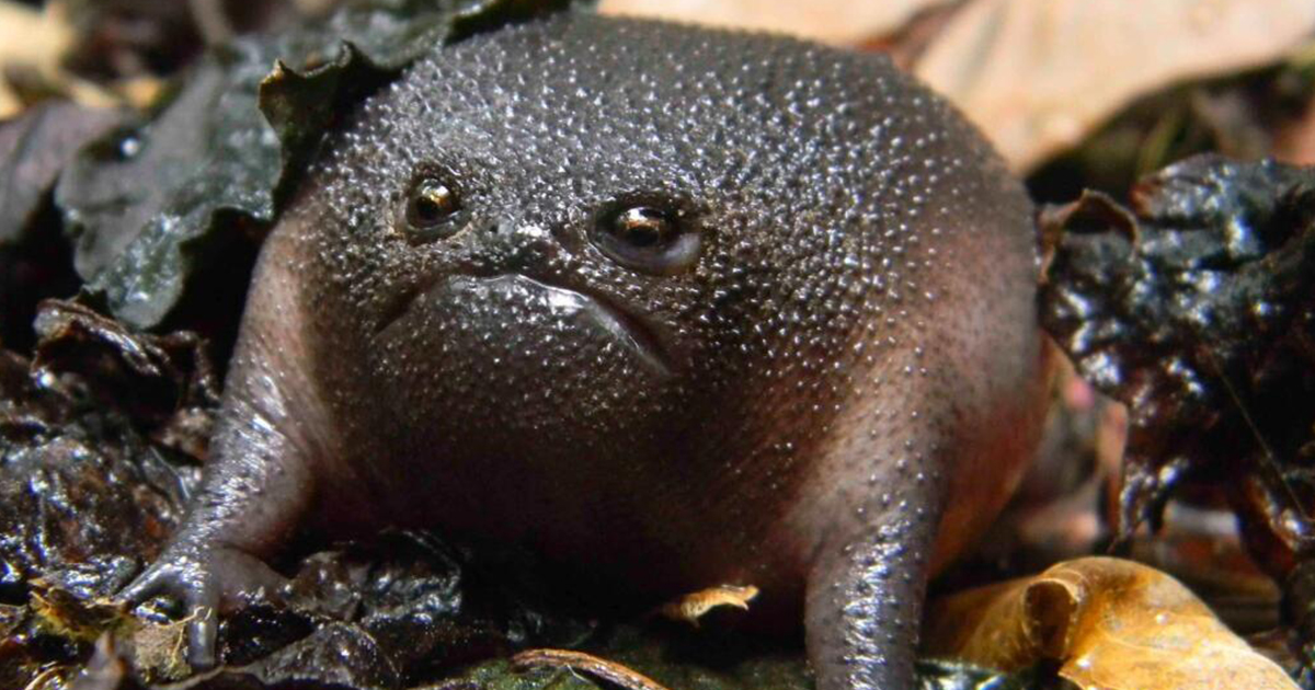 goliath-toad